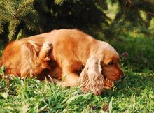 A cocker spaniel scratching in the grass