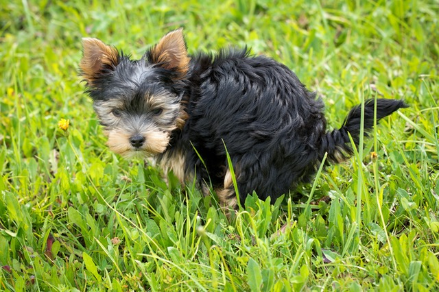 Puppy poops in grass