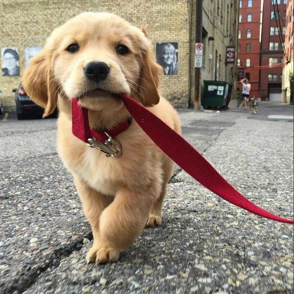 Puppy pulling a leash