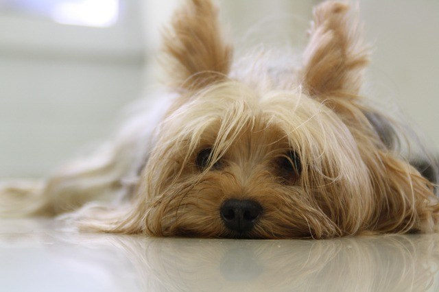 Female yorkie lying down looking tired
