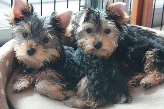 Two Yorkie Puppies lying beside each other in a doggy bed.