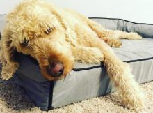 Labradoodle sleeping on a comfy BuddyRest Dog Bed