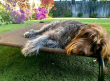 Labradoodle relaxing on a Coolaroo Dog Bed in the yard