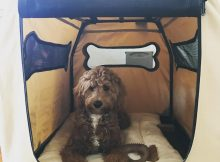 Labradoodle sitting in his dog crate from Petnation comfortably and relaxed