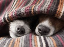 Two cute dogs snuggled in a cave pet vet snoozing