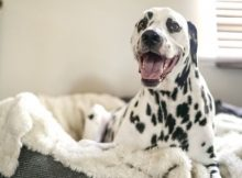 A Dalmation resting on a raised dog bed