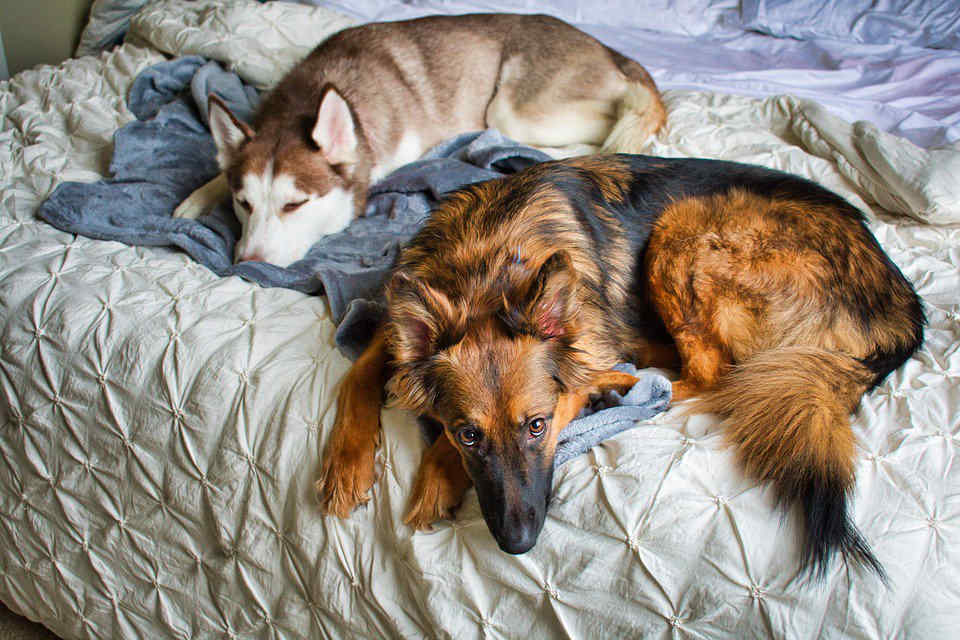 German Shepherd and Husky Cozy on a Bed