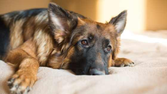 What To Look For in A Dog Bed for A German Shepherd