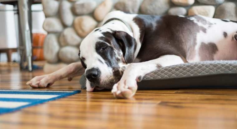 The Best Indestructible Extra Large Dogs Beds For Great Danes